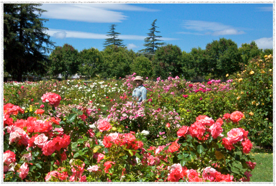 San Jose Municipal Rose Garden A Traveling Gardener