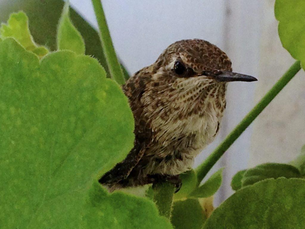 Baby Hummingbird Rescue!
