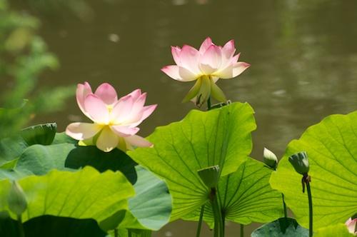 Indian Lotus blooms