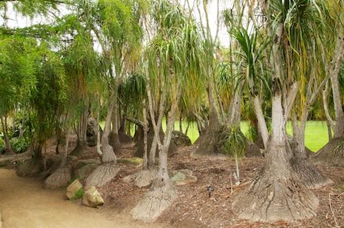 Pony Tail Palm Grove