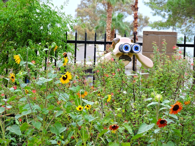 Behind the sunflowers, Mr. Peepers is birdwatching too!