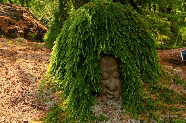 Thorsen's Weeping Western Hemlock Tsuga heterophylla