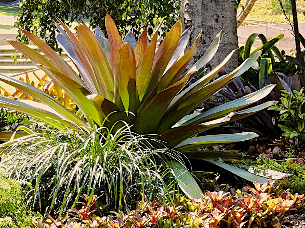 Giant Bromeliad enjoys the sun
