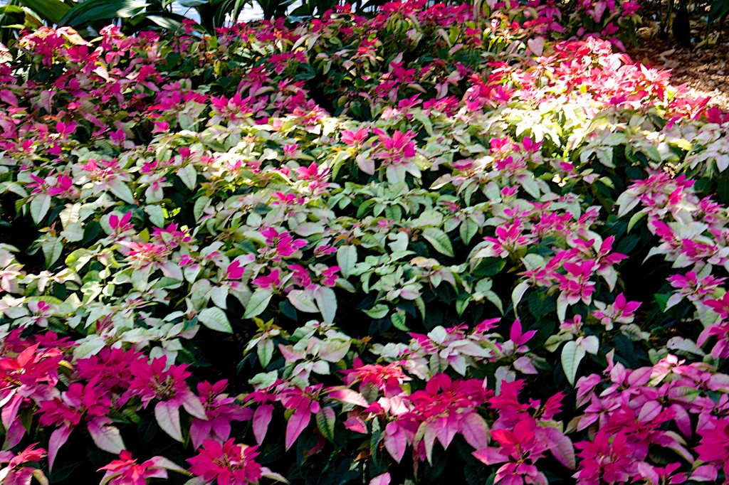 Shades of pink & white in Poinsettias