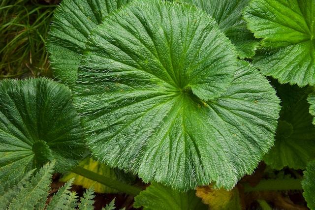 Macquarie Island Cabbage