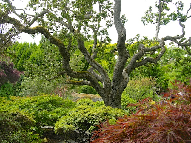 Old Garry Oak