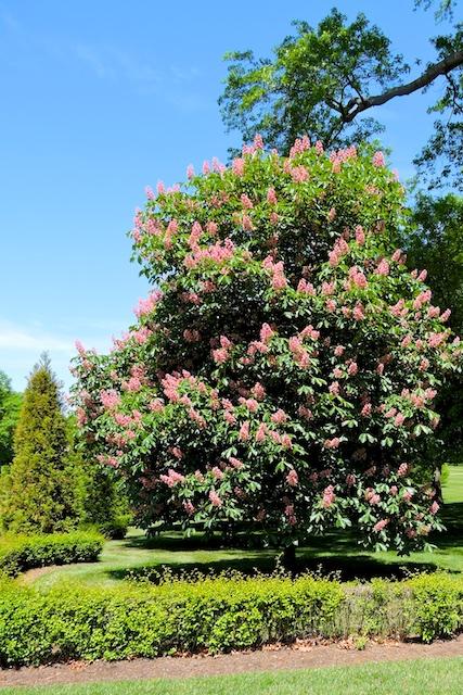 Flowering Horse Chestnut Aesculus hippocastanum
