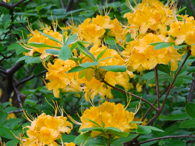 Southern  Flame Azalea  Rhododendron austrinum