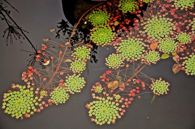 Floating Purslane Brooklyn Botanical
