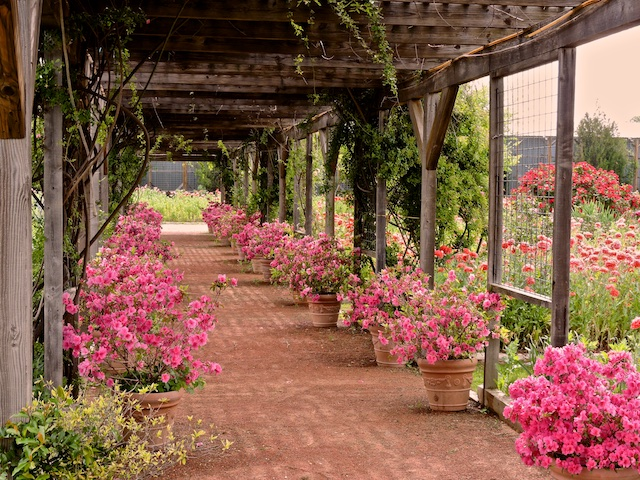 Potted Pink Azaleas