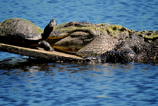 An alligator & a turtle soaking up the sun