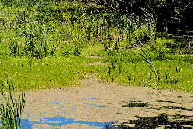 Audubon Swamp Garden--The Swamp