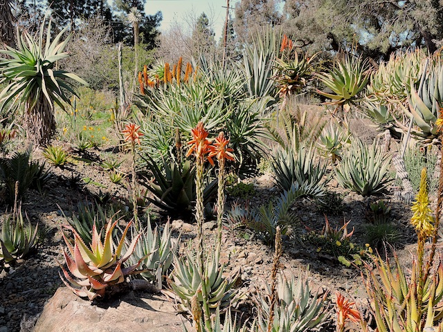 Colorful Aloes, Agaves