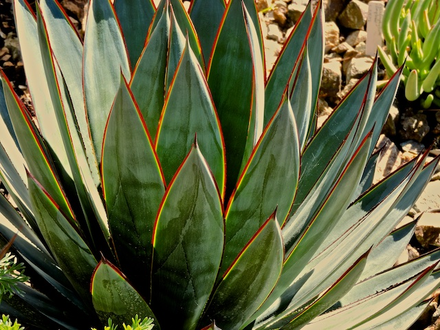 A blue glow agave