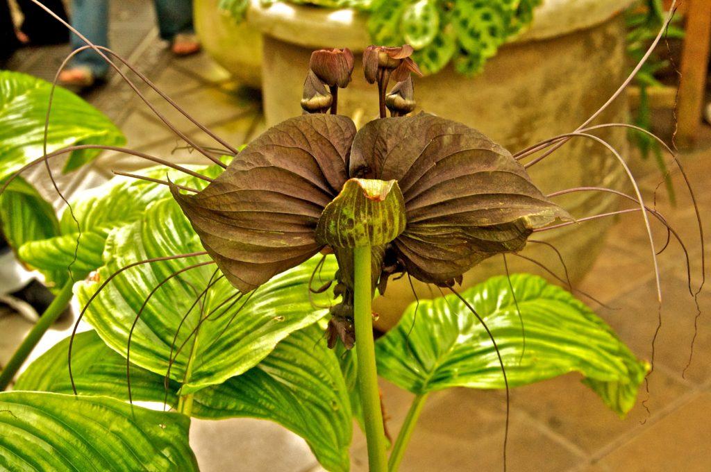 Bat flower, Southeast Asia Tacca Chantrieri