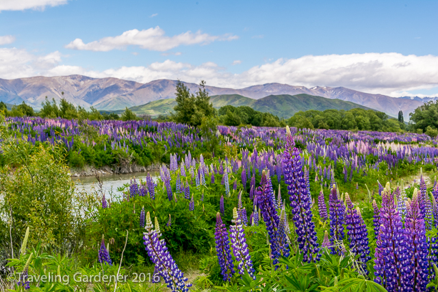 Lupines as far as we could see