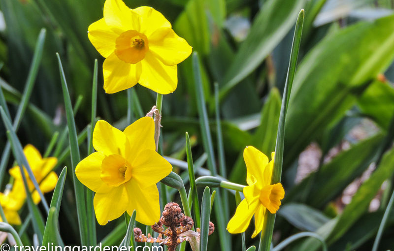 Daffodils, Jonquils, Narcissus, Oh My!
