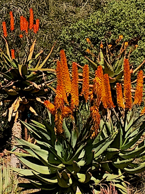 firex aloe in bloom
