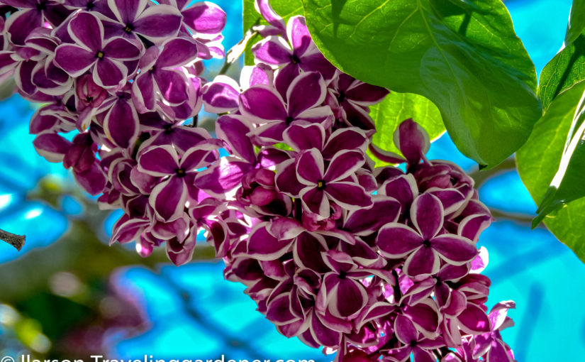 Lilac Festival, Mackinac Island