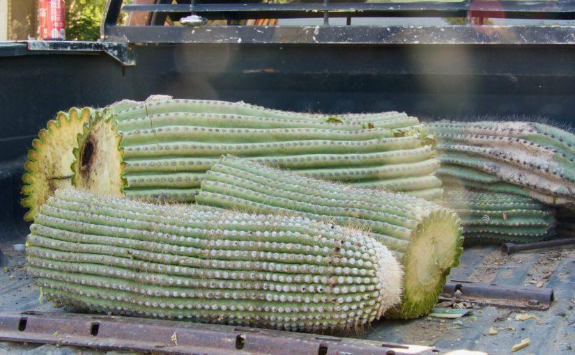 Cactus Wranglers